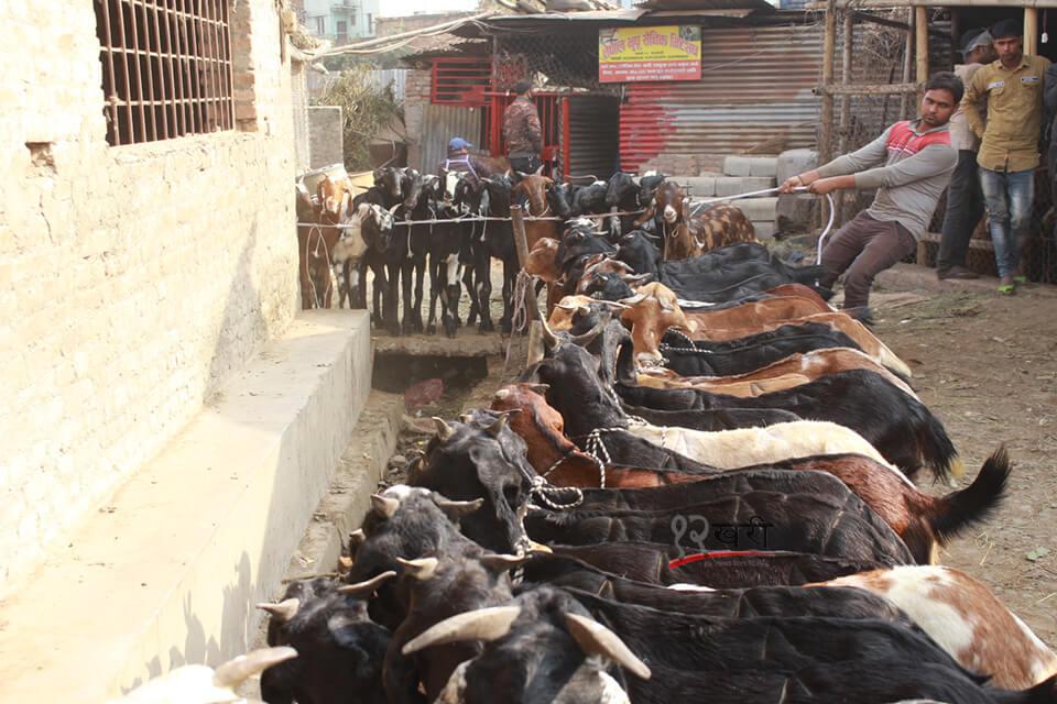 दसैंको लागि काठमाडौं भित्र्याइयो खसीबोका (तस्बिरमा)