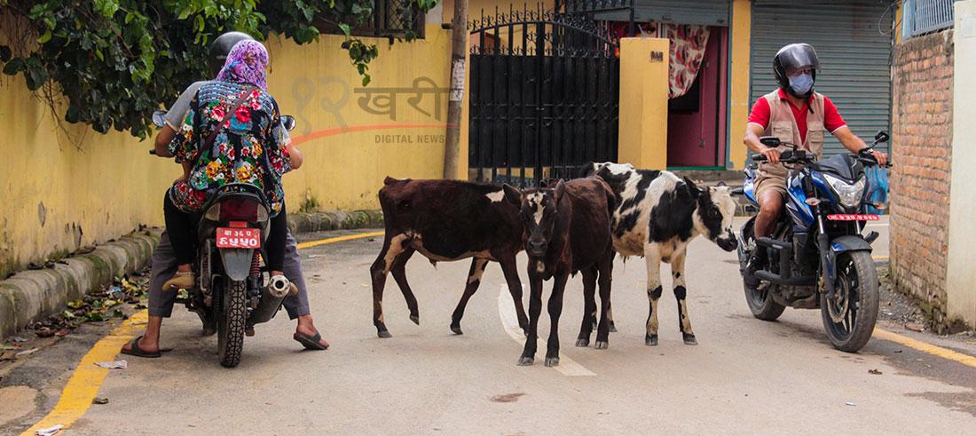 काठमाडौंको शान्तिनगर क्षेत्रको सडकमा छाडा गाईगोरु । छाडा गाईगोरुले चालक र पैदल यात्रुलाई हिँड्न सकस पुर्याएको छ । तस्बिर : हरिशजंग क्षेत्री