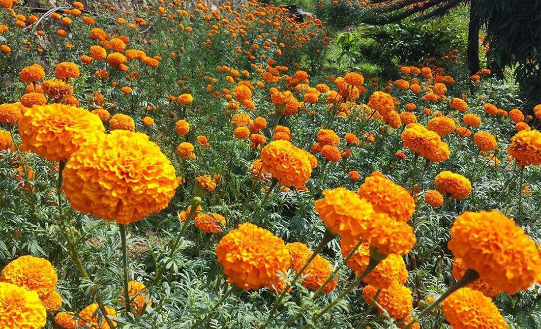 खेर जाँदै सयपत्री फूल