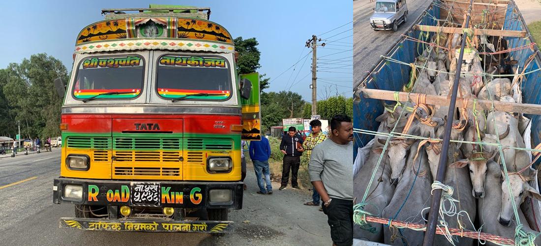 मासुका लागि भारत हुँदै बंगलादेश पुर्याइन्छन् गाईगोरु